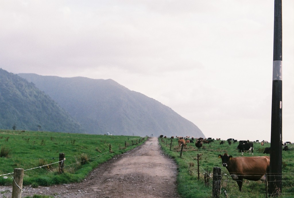 NZ Cows